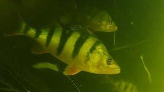 ТАКОЕ ВИДЕЛ НЕ КАЖДЫЙ ГОЛОДНЫЕ ОКУНИ ГОРБАЧИ Подводная съемка Рыбалка 2019