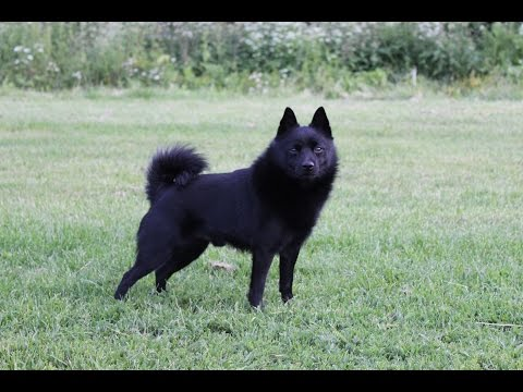 Jekku Schipperke 5 years part 1/2   Jekku 5 vuotta osa 1/2