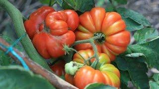 видео Выращивание овощей  (Огород) / Поиск по тегам / Страница 5 / Мои дачи