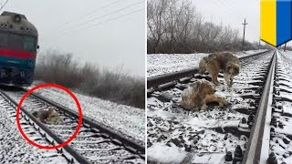 Loyal dog: dog protects injured dog stuck on train tracks for two days in snowy weather - TomoNews