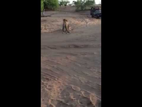 Wild Dogs and Lions fight over a Thomson's Gazelle