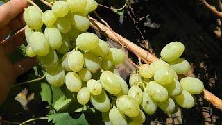 Виноград  Ланцелот (Grapes Lanselot) 2015