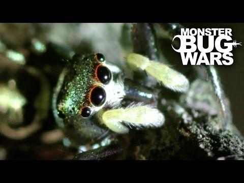 Spitting Spider Vs Metallic Green Jumping Spider | MONSTER BUG WARS