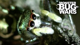 Spitting Spider Vs Metallic Green Jumping Spider | MONSTER BUG WARS