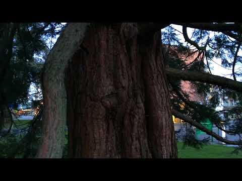Giant redwood (Sequoiadendron giganteum) - trunk - January 2018
