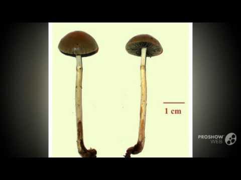 Psilocybe merdicola - fungi kingdom