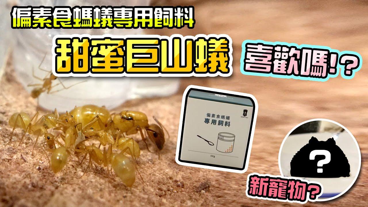 甜蜜巨山蟻試吃時間🐜|偏素食螞蟻專用飼料開箱|新寵物??【甜蜜巨山蟻小日常#3】