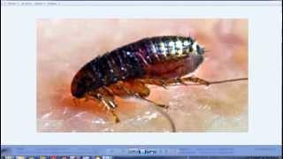 Блохи,методы борьбы этими мелкими,но вредными насекомыми