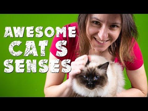 Awesome Cat's  senses | Birman cat | Cat's diary