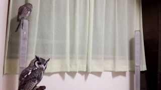 飛ぶのがへたくそなアフリカオオコノハズク Owl flying hard.