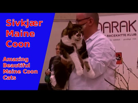 Beautiful Maine Coon's on show