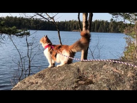Maine Coon Cat: 6 month in 7 minutes (in the life of a cat)