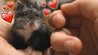 Kuschel Hamster ♥ Cuddle hamster