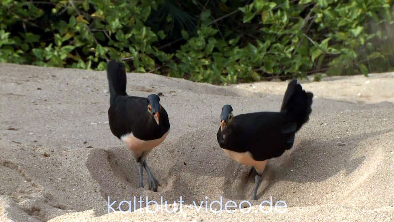 Burung Maleo Maleo Bird Hammerhuhn Macrocephalon Maleo Sulawesi Youtube