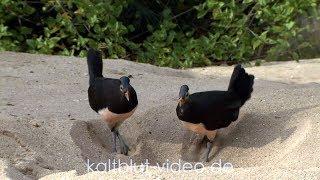 Burung Maleo, Maleo bird, Hammerhuhn (Macrocephalon maleo), Sulawesi