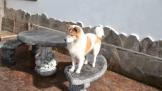 видео Thai Bangkaew Dog