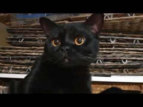 Bombay cat Loki