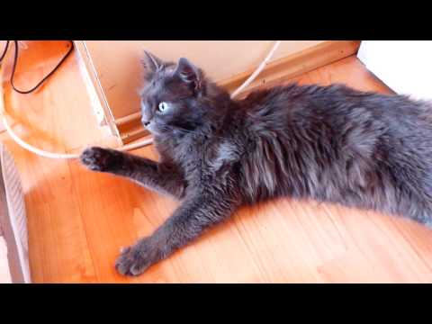 Funny Nebelung Cat Video: 'DON'T TOUCH ME'