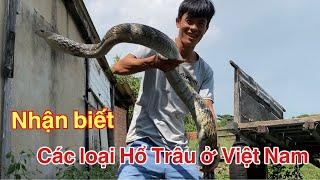 Có Thể Bạn Chưa Biết - Nhận Biết Các Loại Rắn Hổ Trâu ( Hổ Vện, Long Thừa ) Ở Việt Nam