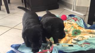 Black Labrador Retriever puppies playing (1 month old)
