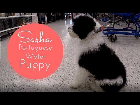 Best Puppy Ever!!  Sasha PWD - Portuguese Water Dog
