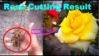 How To Grow Desi Rose Plant By Cutting  E A  E A  E A B E A Be E A Ac  E A  E A B  E A  E A B E A Ae  E A B E A   E A  E A  E A B E A   E A
