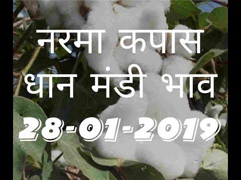 Mandi Bhav Today 28-01-2019 // Narma Bhav // kapas mandi bhav // Dhaan Rates