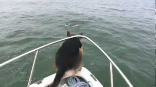 Overboard Maverick- Dog Jumps On Dolphins (really Funny-must See)