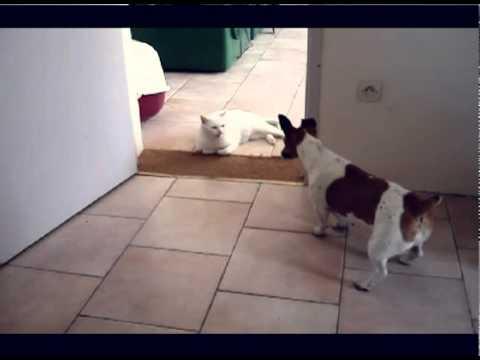 Jack Russell Terrier vs Cat
