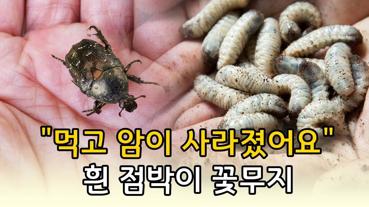 동의보감에서도 극찬을 한 이 곤충 : 흰 점박이 꽃무지