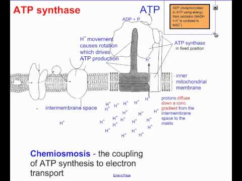 cellular respiration ib The purpose of cellular respiration is to convert glucose into atp(energy) for the organism respiration consists of glycolysis, the krebs cycle, .