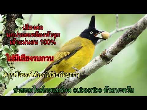 เสียงต่อ นกปรอดเหลืองหัวจุก