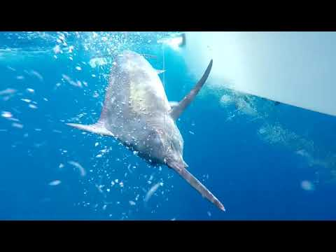 Season 3 Episode 3 | Panama Black Marlin | 303