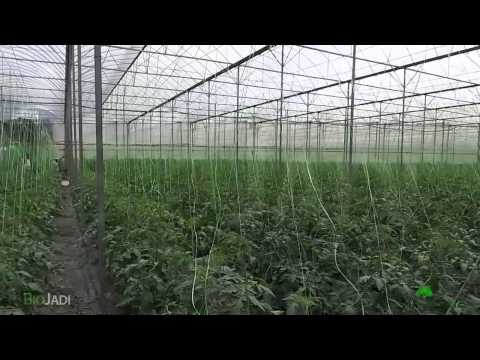 PART 1 - Tomatoes Organically Grown with BioJadi @ Cameron Highlands