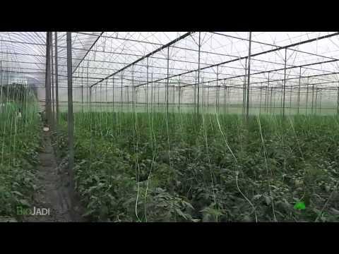 PART 1 - Tomatoes Organically Grown with BioJadi @ Cameron Highlands
