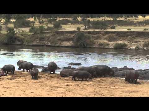 Hippopotamus on the Mara River, Tanzania