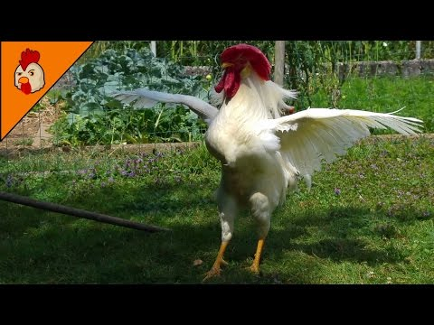 Rooster Crowing in the Morning - Leghorn Rooster - Chicken Sounds and Noises