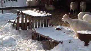 Как мои козы зимуют.