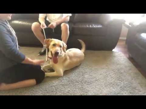 High Energy Yellow Lab - Dog Obedience Training Before & After