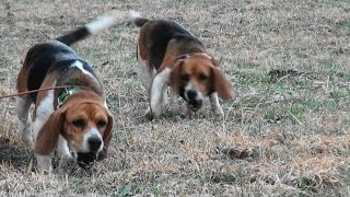 Skyview's Beagles Running Ez & Abby Testing New Camera Sony Fdr-ax33