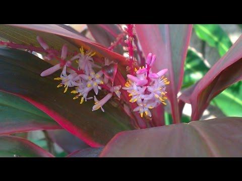 КОРДИЛИНА (Cordyline) Цветение и размножение. Ложная пальма. Доминикана.