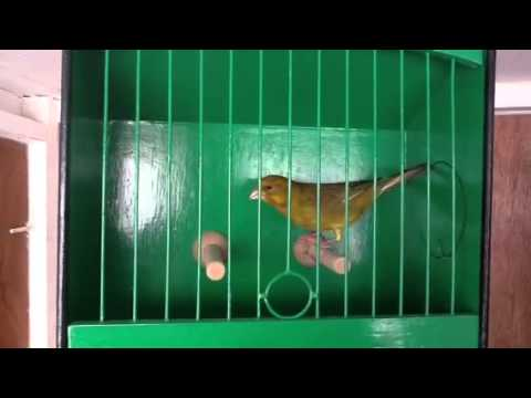 Greenfinch: Carduelis chloris | Environment | The Guardian