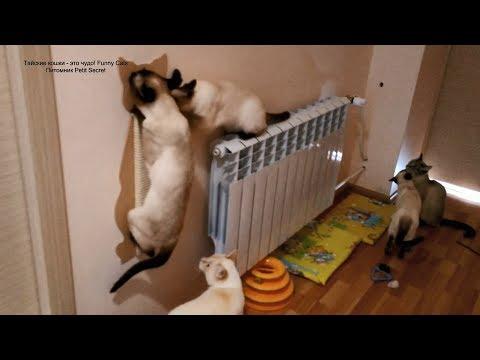 У пяти тайских котиков новая когтеточка! Тайские кошки - это чудо! Funny Cats