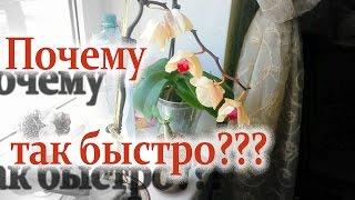 Сколько на самом деле  цветет орхидея Голден Бьюти// Phalaenopsis // Golden Beauty(, 2016-09-25T18:31:43.000Z)