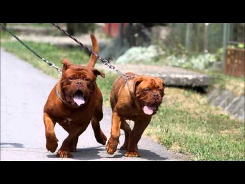 Dogue De Bordeaux Youtube