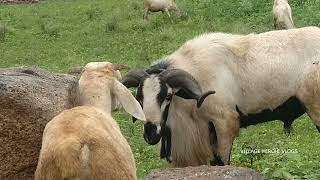 Goat eating Grass in Nature | Goat Sounds | Goat Farming