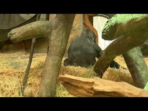 FULL VIDEO: Baby Gorilla makes debut at Omaha Zoo