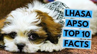 Lhasa Apso  TOP 10 Interesting Facts