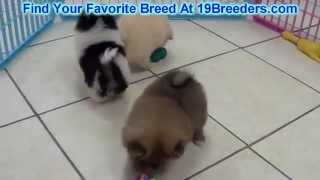 Pomeranian Puppies For Sale 19breeders