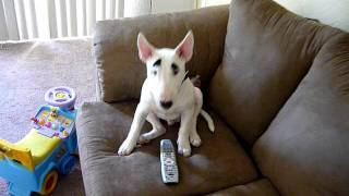 Mini English Bull Terrier